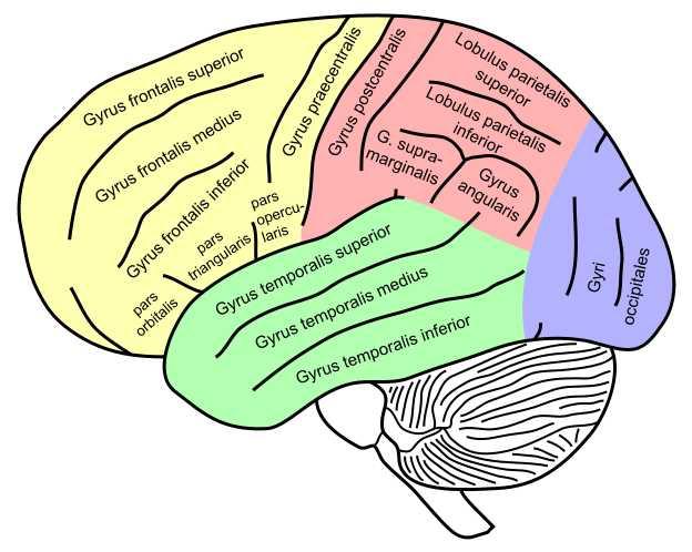 Das menschliche Gehirn: Bannerwerbung und Neuromarketing